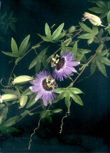 passion flower 8 copy-web